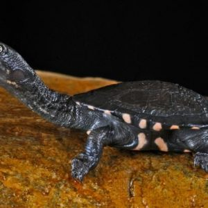 Baby-Longneck-Turtle