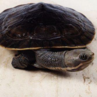 Baby-Shortneck-Turtle