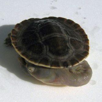Broadshell-Turtle