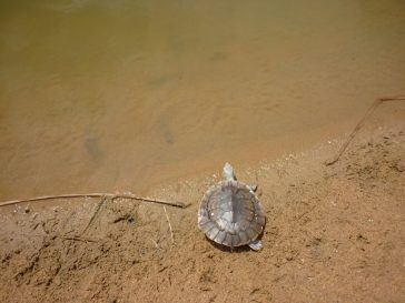 Releasing a Turtle aquafish australia