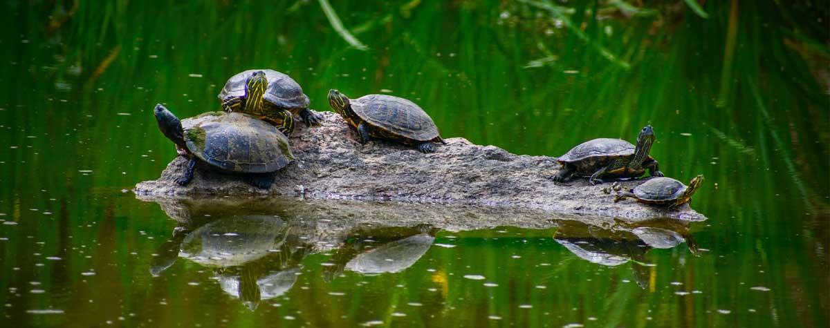 Turtles aquafish australia